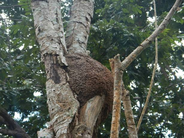 Aerial Termite nest in the Caribbean