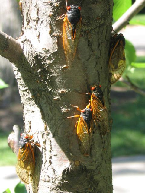 Red Eye Cicadas (M. septendecim)